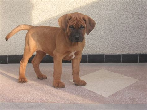 tosa inu puppies tosa inu info temperament diet puppies pictures