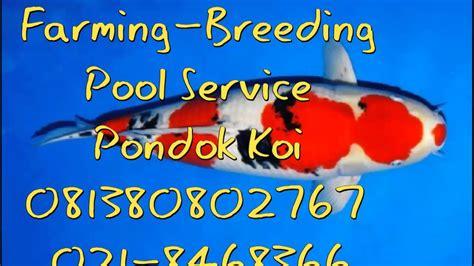 Harga Bibit Ikan Koi Import 081380802767 ikan koi murah bagus anakan bakalan