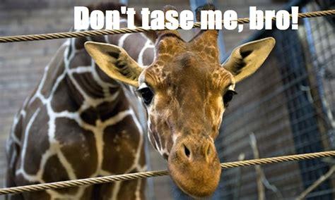 Giraffe Meme - marius the giraffe canis lupus hominis