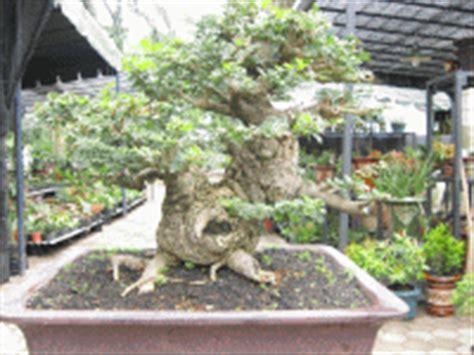 jual bonsai kawista kawis bonsai kawis kawista tanaman