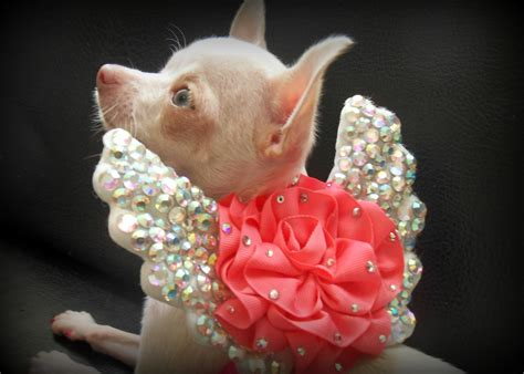 chihuahua puppies for sale in iowa chihuahua puppies for sale in philadelphia breeds picture