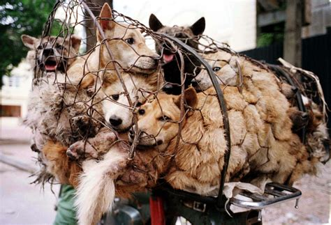 dogs in china china festival protests begin as 10 000 sign petition banning yulin feast