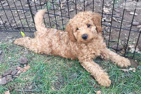 goldendoodle puppies for sale sacramento dibbs goldendoodle puppy for sale near sacramento