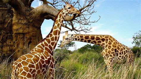 imágenes de jirafas y elefantes fondo de jirafas im 225 genes y fotos