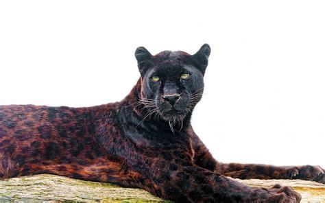 black jaguar hd wallpaper black jaguar wallpapers wallpaper cave