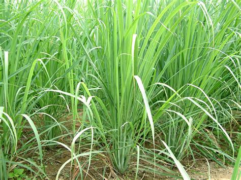 Lemon Grass In Planters by Lemon Grass Farming Information Guide Agrifarming In