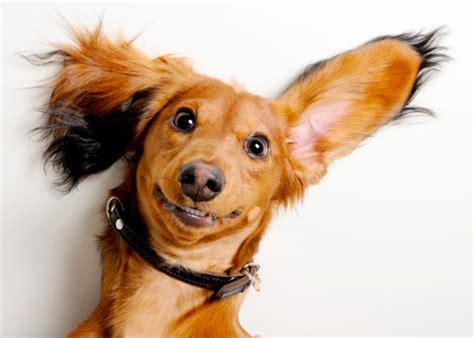 Membersihkan Karang Gigi Anjing 3 Cara Memperpanjang Hidup Anjing Anda Perawatan