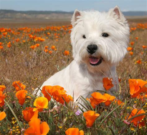cesar puppy animals actors symon west highland terrier