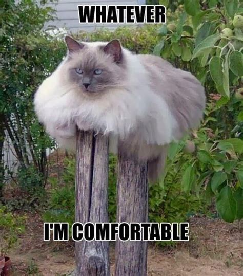 comfort cat this fat cat is comfortable memes pinterest