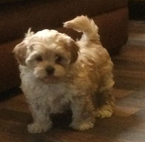 shih tzu cross poodle puppies beautifull shih tzu cross poodle puppy goole east of
