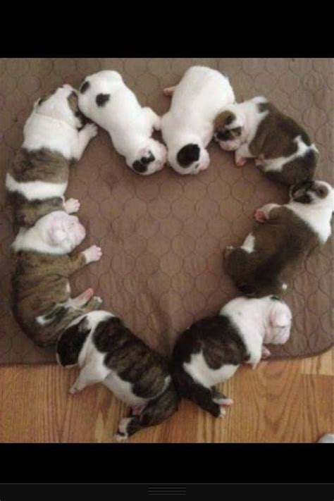 what is the cutest puppy bulldog puppies cutest puppies puppies