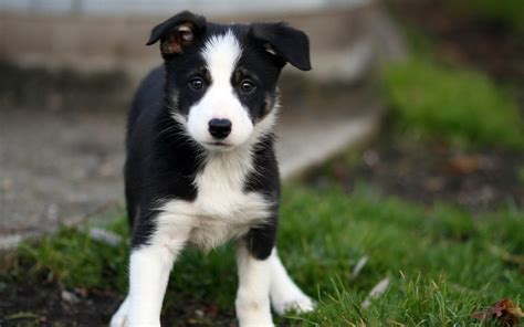 collie puppy pictures beautiful border collie puppy goes on the grass wallpapers and images wallpapers