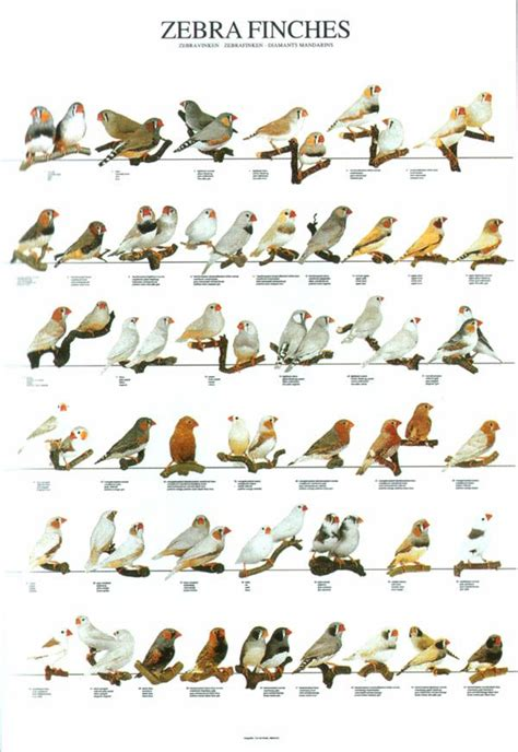 finches varieties zebra finches pinteres