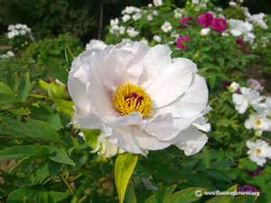 White Peony Flower - peony pictures peony flower pictures