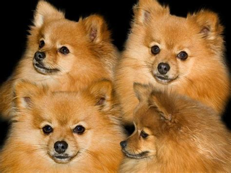 pomeranian wallpaper pomeranian desktop wallpaper