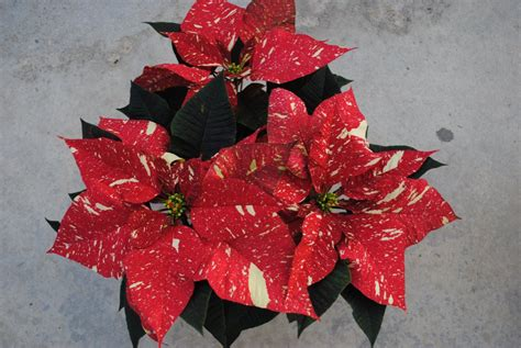westwood gardens grows 12k poinsettias and brings in cut