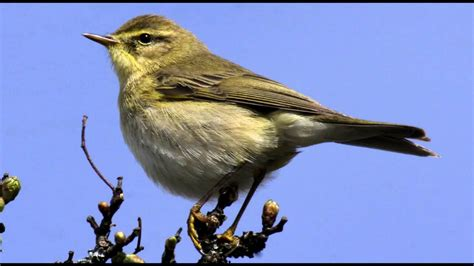 willow warbler bird call bird song youtube