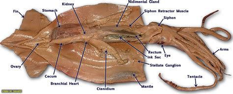 squid labeled diagram biology 11