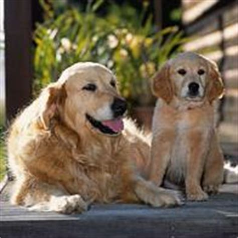 golden retriever age calculator australian breeds gallery breeds pedigree