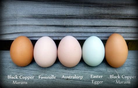 do chickens lay colored eggs a rainbow of egg colors what breed of chicken lays which