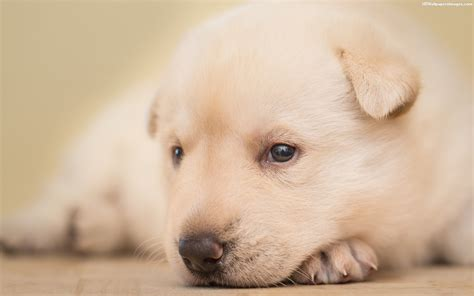sad puppy images sad puppy images pictures photos hd wallpapers chainimage