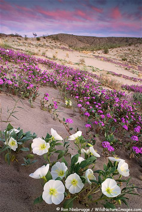 wildflowers anza borrego anza borrego wildflower photo
