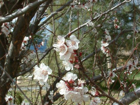 fiori di albicocco piantare l albicocco anche in citt 224 giardinaggio piante