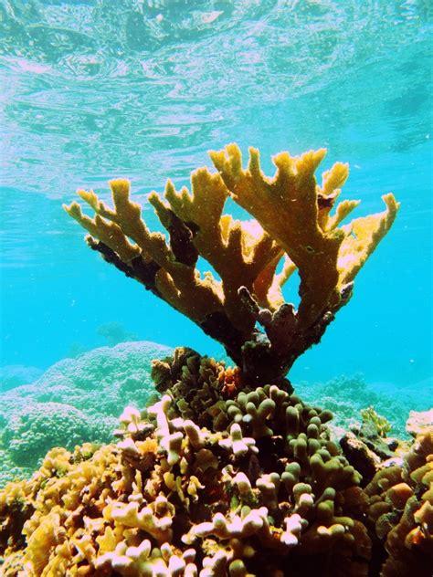Coral Color Elkhorn Coral Cordelia Bank Roatan Underwater World