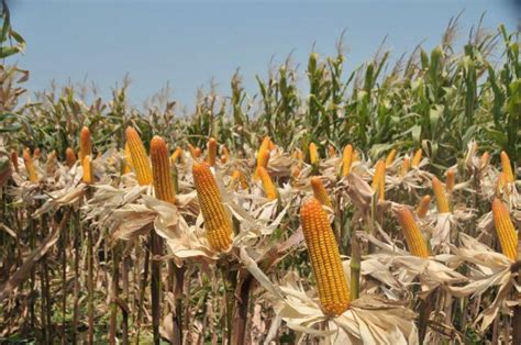 Bibit Jagung Pakan Ternak singkawang harapkan bantuan bibit jagung untuk petani