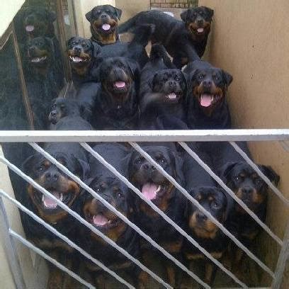 house for rottweiler rottweiler rottweilers rotties rottie rotty jhb puppies puppy pups south africa puppys