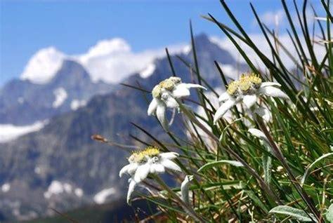 edelweiss bloem oostenrijk 1000 images about edelwei 223 on pinterest dirndl bayern