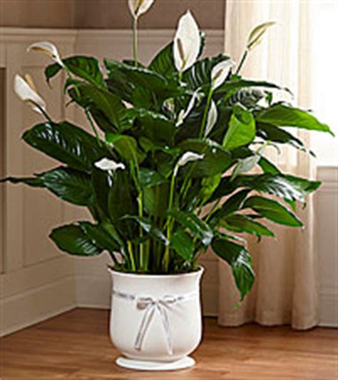 Comfort Planter by Plants Flowers Roses Plants And Gift Baskets Ftd Ca