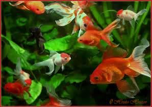 My Goldfishes   Practical Fishkeeping Forum