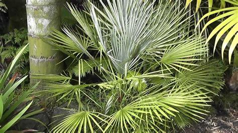 blue mediterranean fan palm for sale chamaerops humilis var argentea blue mediterranean fan