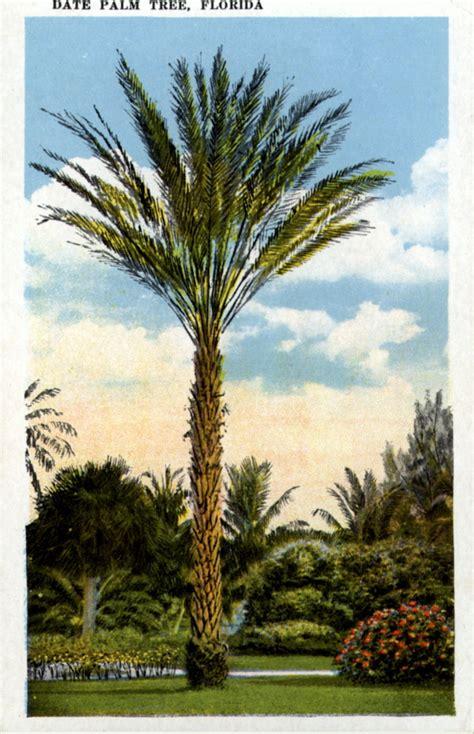Palm Florida Records Florida Memory Date Palm Tree Florida