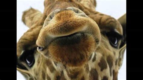 imagenes comicas de jirafas fotos graciosas de jirafas youtube