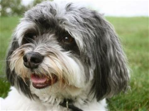 havanese house 17 best ideas about small hypoallergenic dogs on hypoallergenic breed