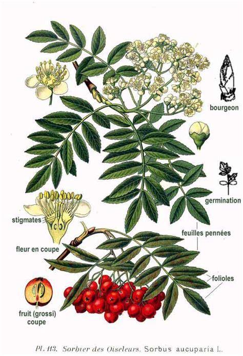 file 113 sorbus aucuparia l jpg wikimedia commons