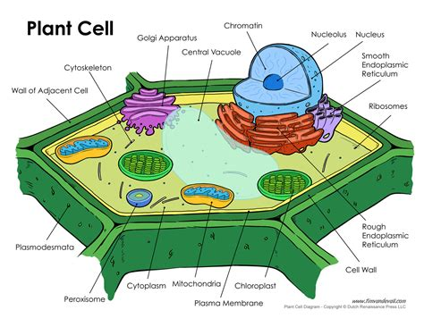 printable animal and plant cell diagram plant cell diagram tim van de vall