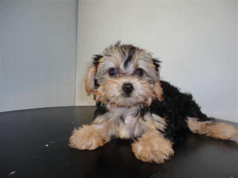 yorkie coton yorkie ton terrier x coton de tulear info puppies pictures