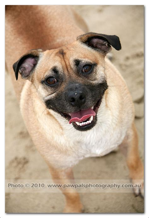 russel x pug pet photography photographer pawpals photography