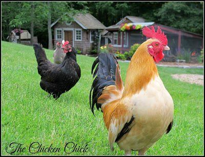 flystrike in backyard chickens causes prevention treatment