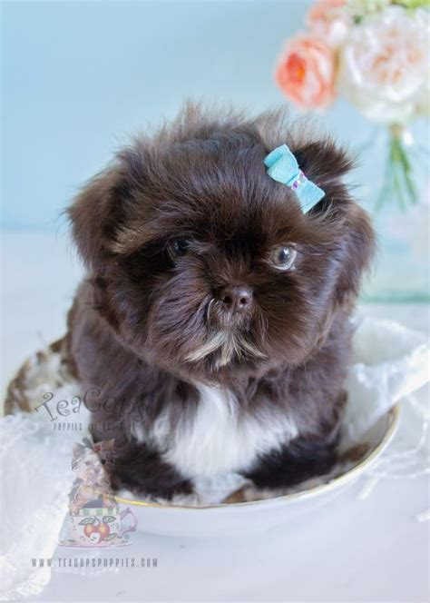 teacup shih tzu puppies for sale in imperial shih tzu puppies for sale by teacups puppies boutique teacups puppies