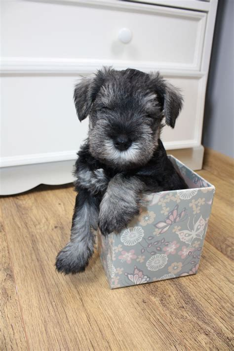 salt and pepper schnauzer puppy miniature schnauzer puppies kc reg salt pepper corby