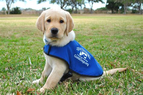 puppy guide puppies hug em in florida at southeastern guide dogs vacation quest