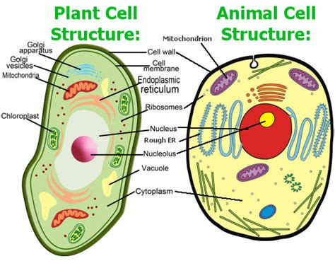 structure of animal cell and plant cell under microscope an introduction to the cells of organisms