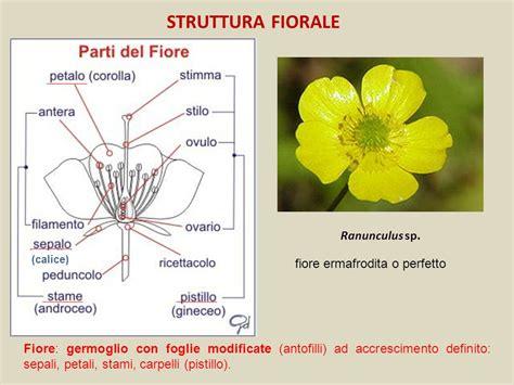 struttura fiore esercitazione 4 argomenti ppt scaricare
