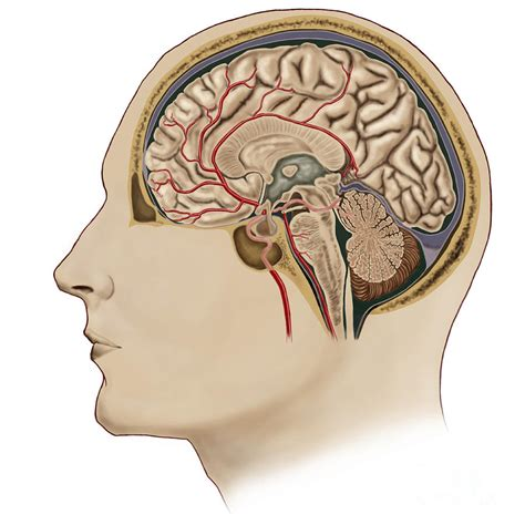 cross section brain not my circus not my monkeys discussing palm