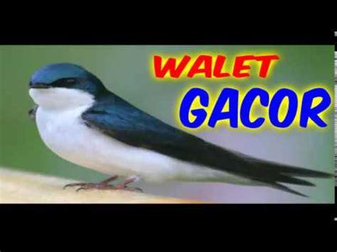 Memancing Walet Dengan Sarang Kertas Kartonkoabeng sarang burung walet baru menginap wmv animegue