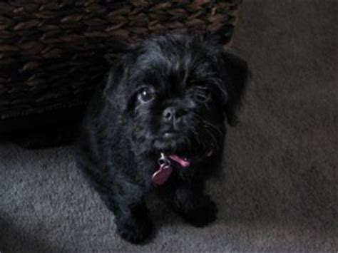 pug poodle mix learn about the pug poodle mix aka the pugapoo dogable